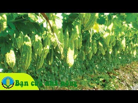 Mô hình làm giàu từ trồng và chăm sóc cây khổ qua