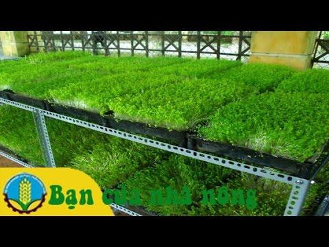 Mô hình sản xuất rau mầm tại nhà hiệu quả kinh tế cao