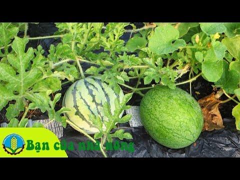 Mô hình trồng dưa hấu bán tết đạt hiệu quả kinh tế cao