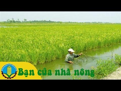 Mô hình trồng lúa trên đất nuôi tôm tiết kiệm mà hiệu quả