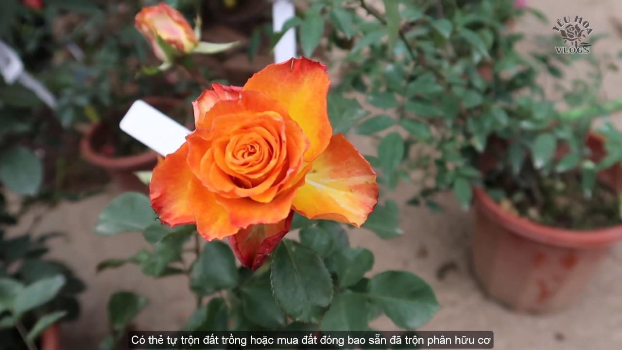 Một số cây hồng ngoại đẹp tại shop Cây và Hoa - Hà Nội | Hoa hồng Vlogs 2019
