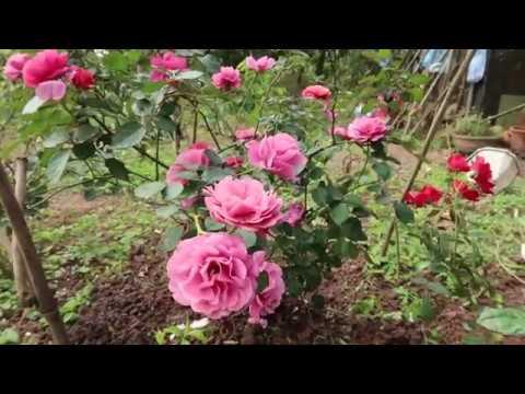 Mùa xuân sang chậu cho cây hồng Aoi | Chuyển cây hoa hồng từ chậu sang đất