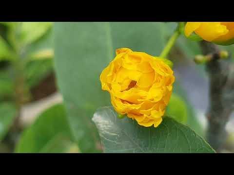 Ngắm Mai Buổi Sáng 😀 Mai Đại Lộc - Mai Tân Châu - Mai Cúc Lai 😀 08/07/19