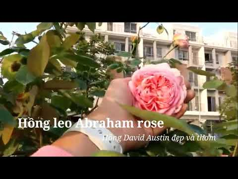 Ngắm cây hồng Abraham dáng tree cực độc đáo