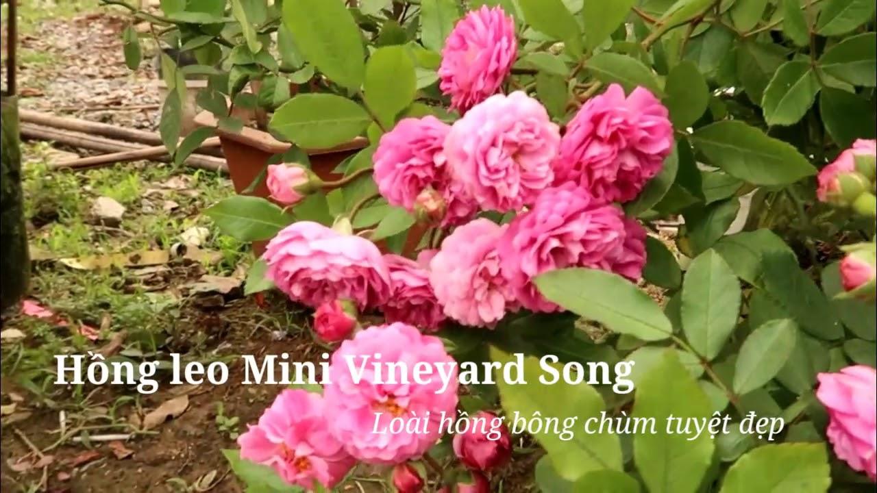 Ngắm cây hồng Vineyard Song sai hoa tuyệt đẹp