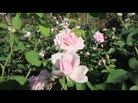 Ngắm chậu Hồng cổ Văn khôi cực chất   Cây hồng cổ sai hoa đã tham gia hội chợ hoa hồng 2018