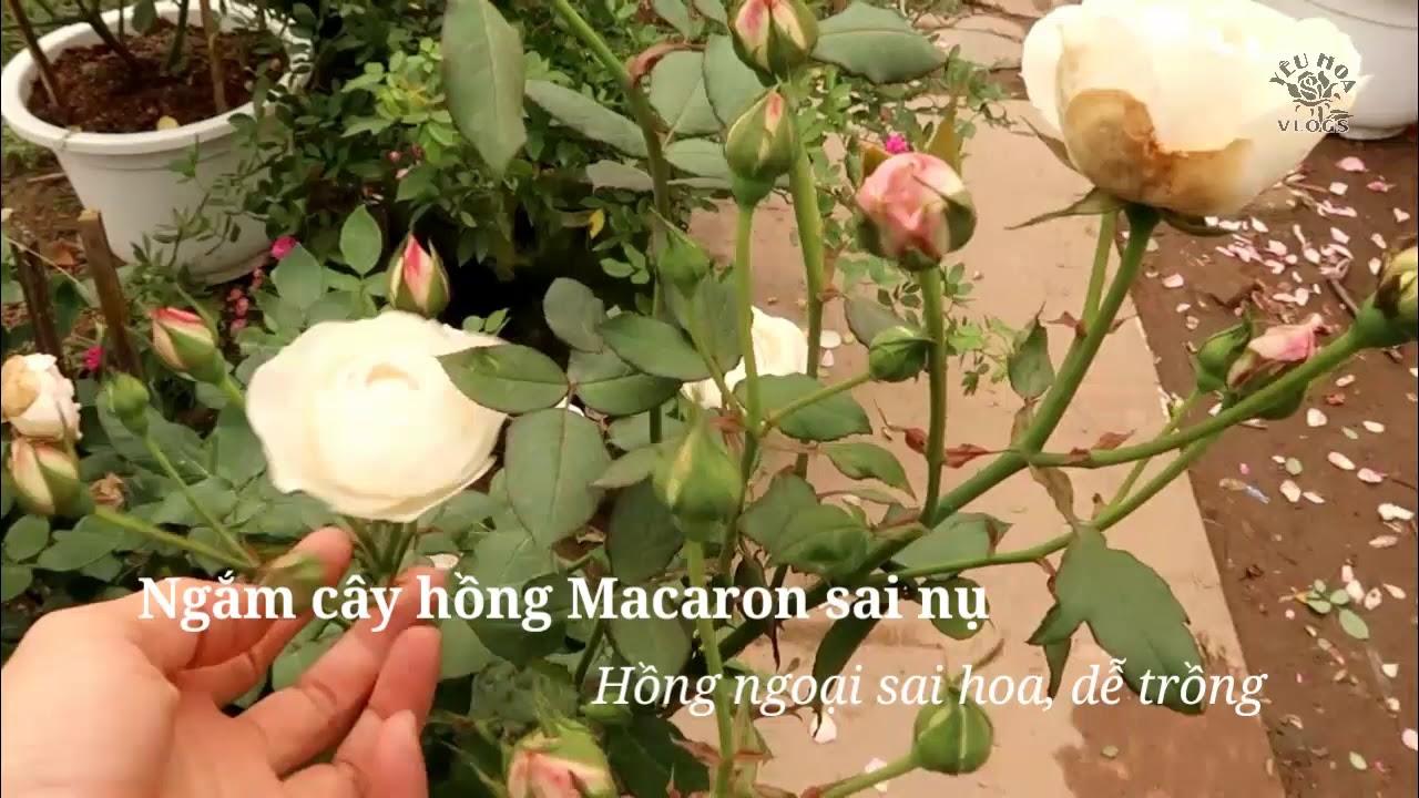 Ngắm cô nàng hồng Macaron siêu sai nụ tuyệt đẹp