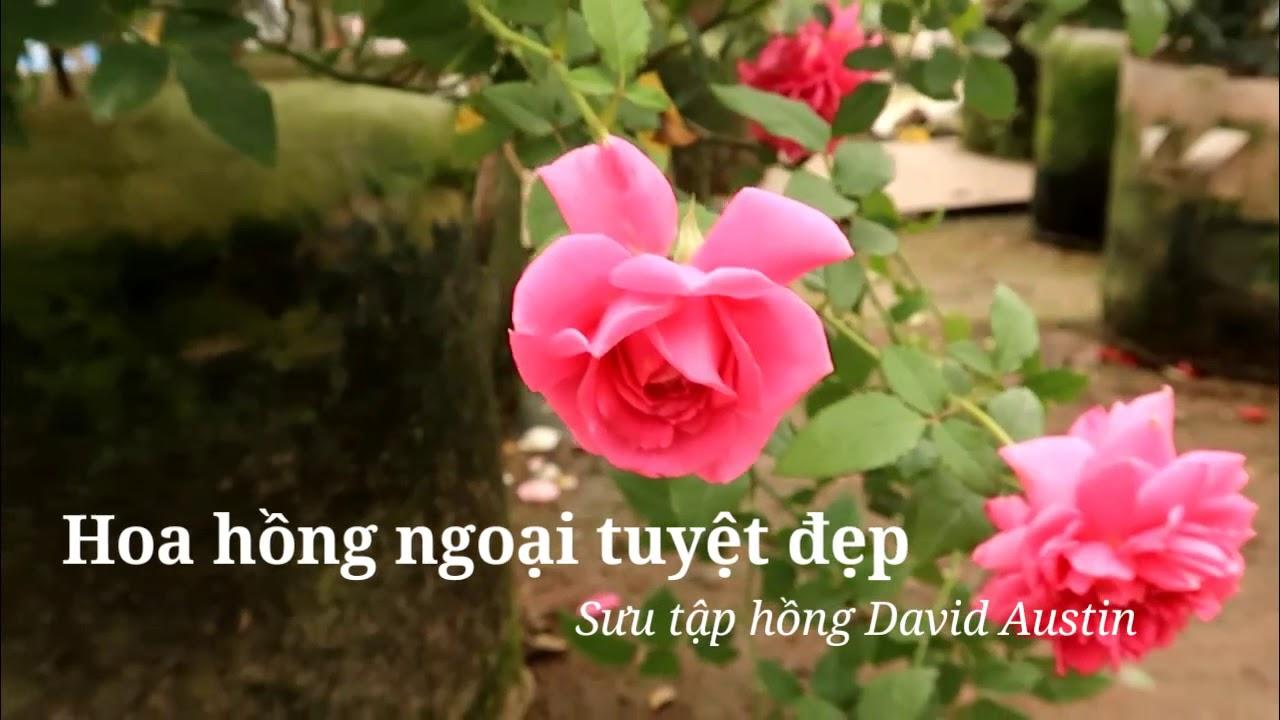 Ngắm hoa hồng David Austin rực rỡ - Ở nhà chăm hoa tránh Covid
