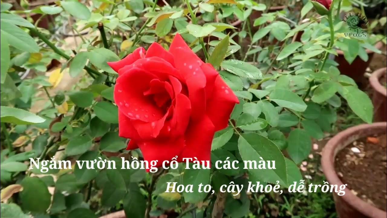 Ngắm những bông hoa hồng Cổ Tàu nhiều màu rực rỡ tuyệt đẹp