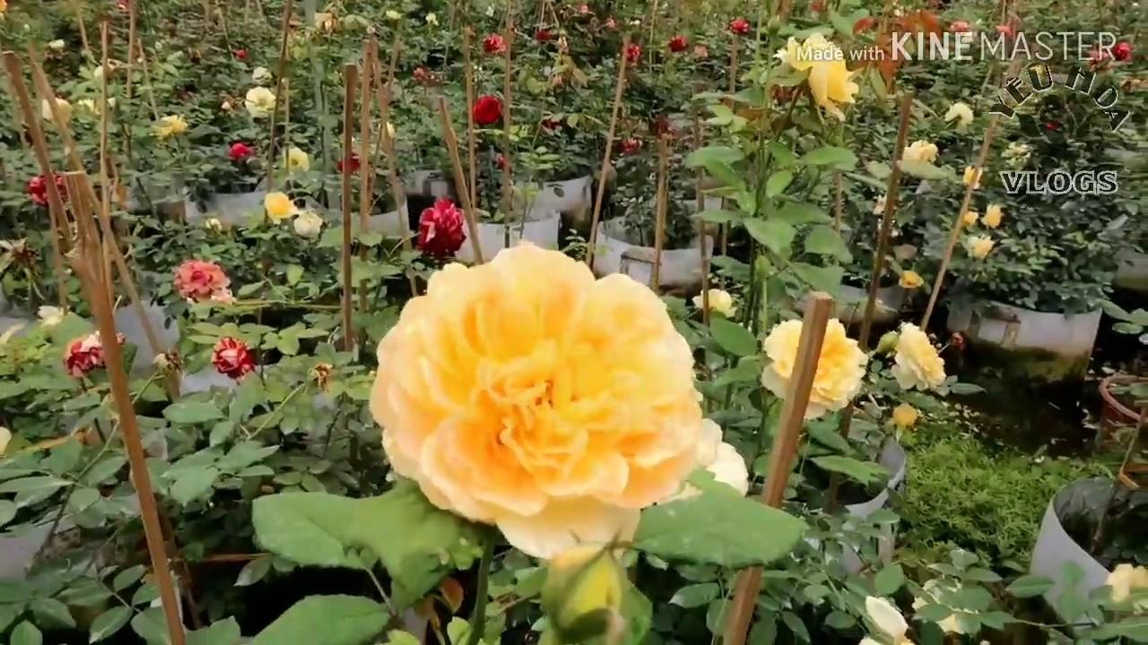 Ngắm vườn hồng ngoại Molinuex màu vàng óng đầy ấn tượng