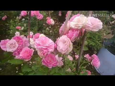 Ngẩn ngơ ngắm vườn hồng Summer Snow | Hồng ngoại cực sai hoa