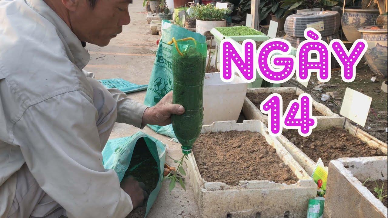Ngày 14 - Ớt Trồng Chai Treo Ngược Và Gieo Lại Cải Cúc - Trồng Rau Tại Nhà | Trồng Rau Sân Thượng