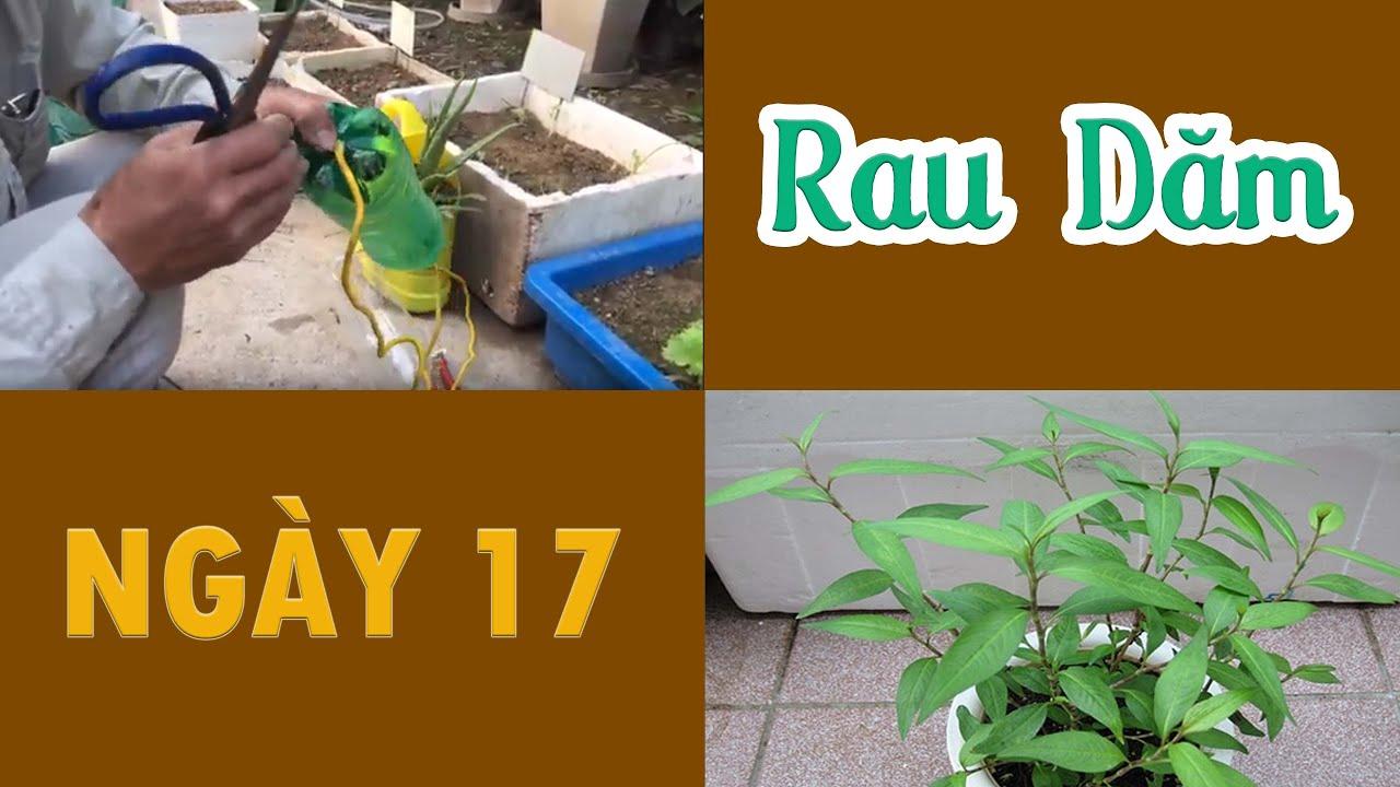 Ngày 17 - Trồng Rau Dăm Vào Chai Nhựa Cũ - Trồng Rau Tại Nhà | Trồng Rau Sân Thượng3