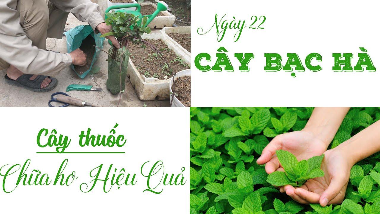 Ngày 22 - Trồng Cây Bạc Hà Vào Chai Nhựa Cũ - Trồng Rau Tại Nhà | Trồng Rau Sân Thượng