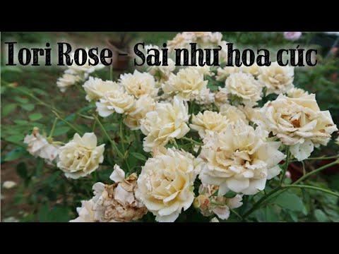 Nhìn xa tưởng hoa cúc, lại gần hoá hoa hồng cực sai hoa - Hồng Iori rose