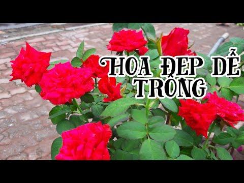 Những cây hoa hồng đẹp, hoa nở quanh năm