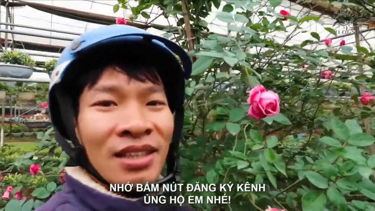 Những loài Hoa Hồng đẹp nhất   Hồng cổ Sapa, hồng leo cổ Hải Phòng, hồng ngoại