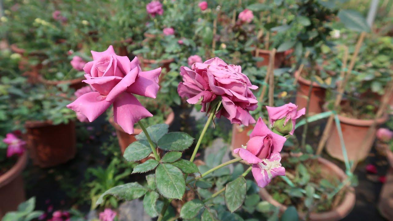 Những loài Hoa Hồng màu tím đam mê đẹp nhất   Hồng Blue sky, Blue storm, Hồng Lavender ...
