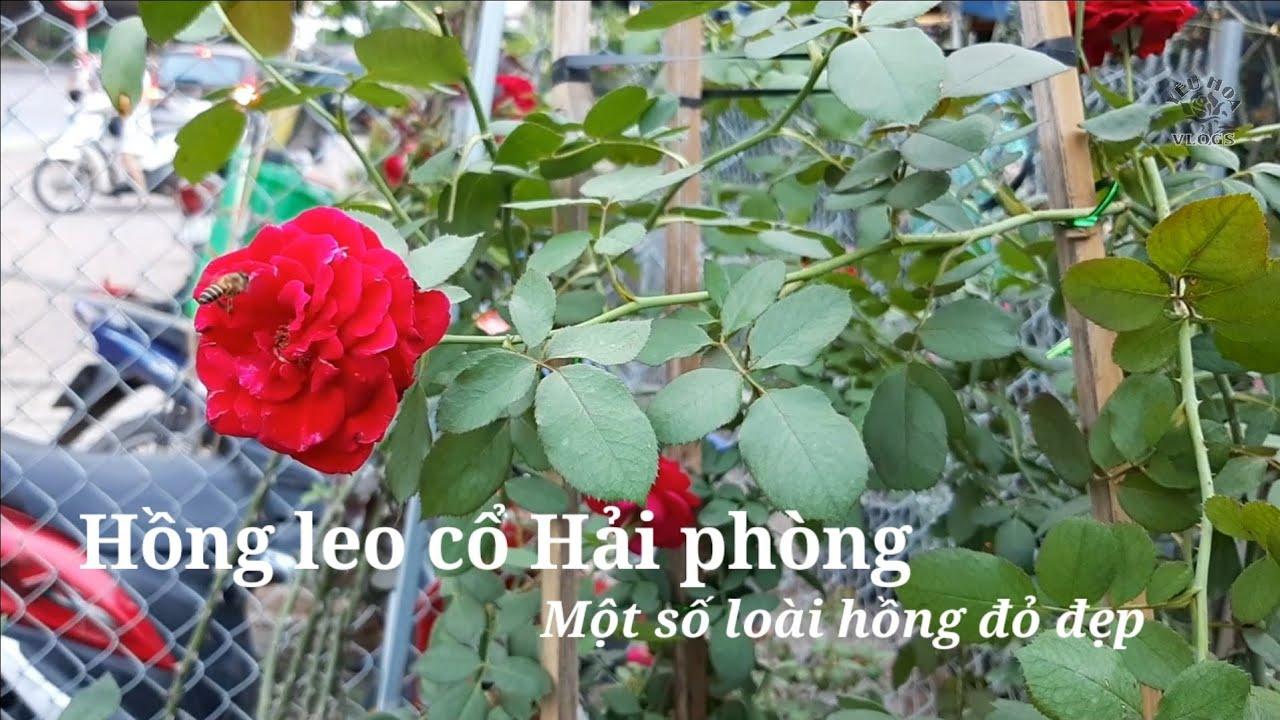 Những loài Hoa hồng leo dễ trồng mà hoa đẹp bạn phải biết