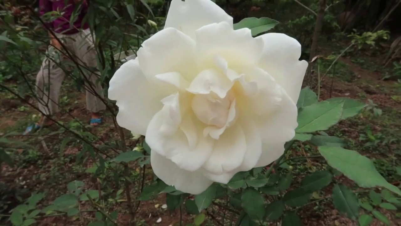 Những loài Hồng trắng tinh khôi đẹp nhất   Hồng cổ Bạch xếp, Bạch Ho, Ngọc lung linh