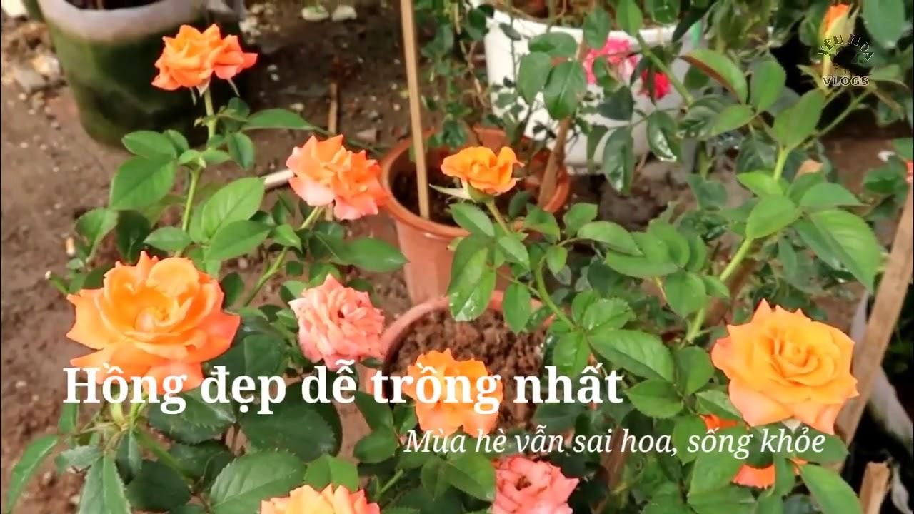 Những loài hoa hồng đẹp thích hợp trồng mùa nắng nóng
