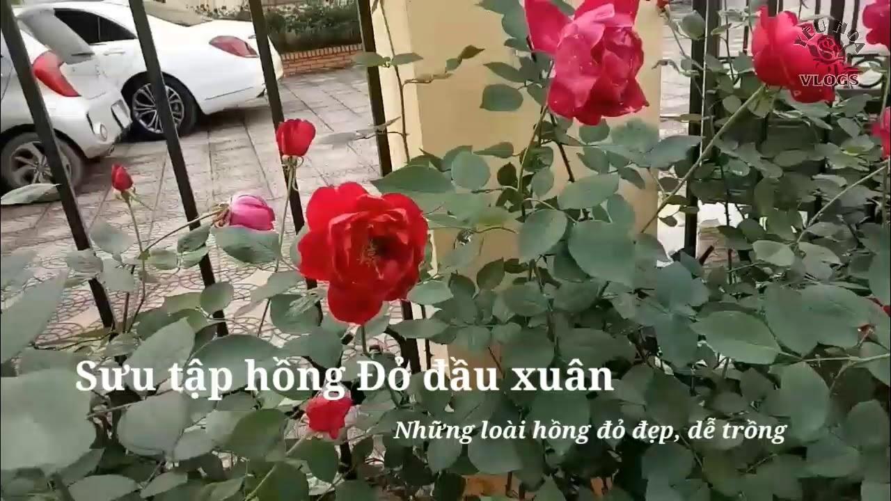 Những loại hoa hồng màu đỏ cực dễ trồng ngày đầu năm