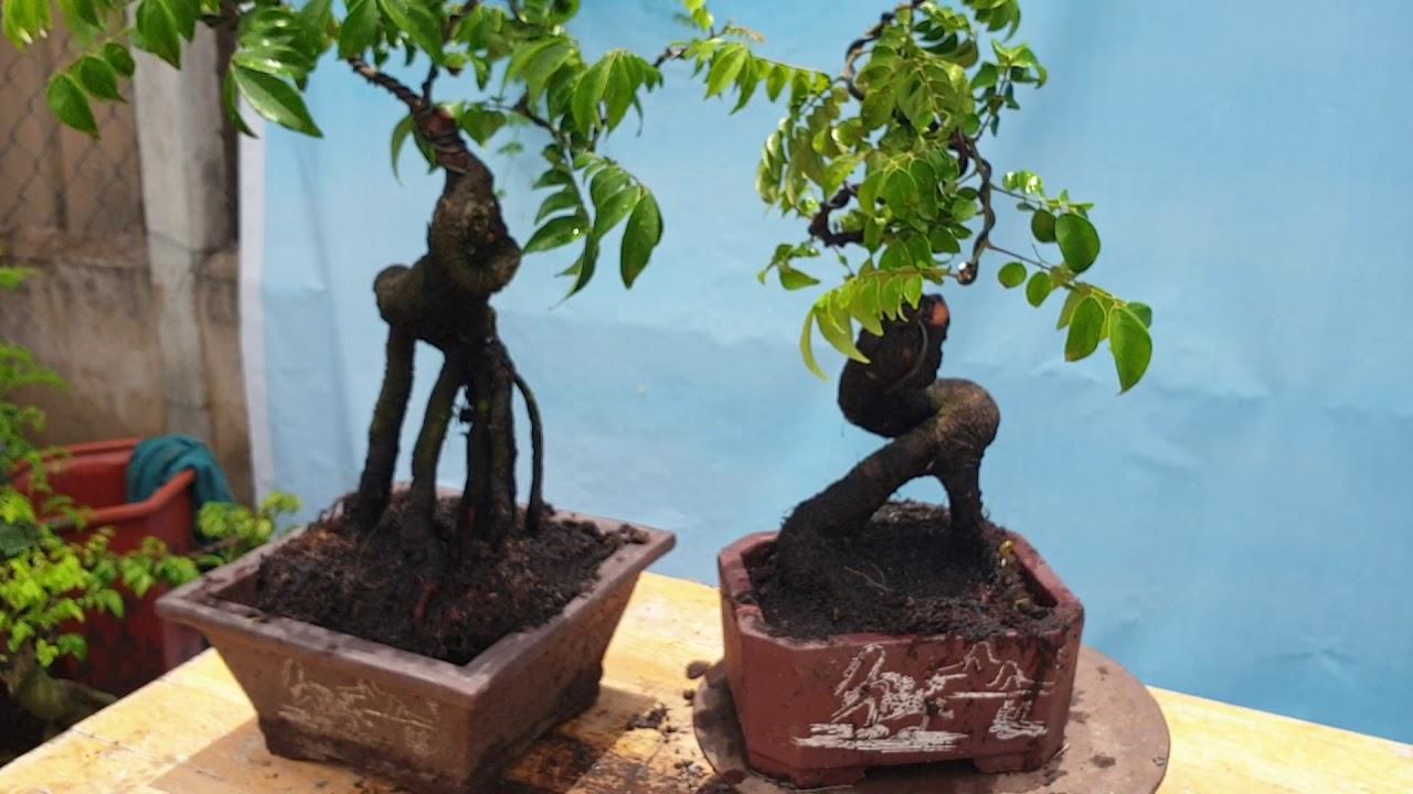 Pan City 32 | Báo giá cây kiểng tại Thủ Đức - Sài Gòn ngày 25 tháng 5 có rất nhiều cây đẹp