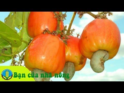 Phương pháp phòng trừ dịch hại trên cây điều thời kỳ nuôi trái hiệu quả