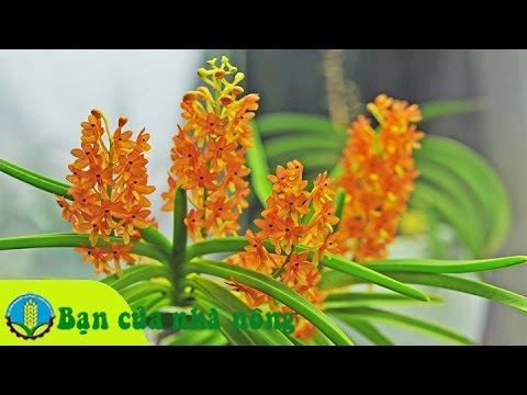 Phương pháp phòng trừ hiệu quả bệnh thối nhũn trên hoa phong lan