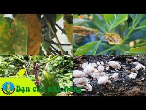 Phương pháp phòng trừ rệp hại cây cafe (cà phê) hiệu quả