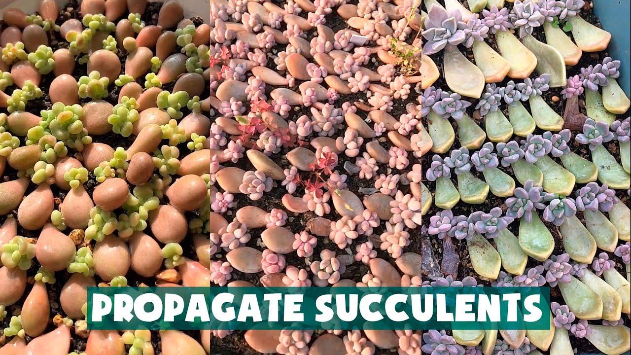 Propagate Succulent From Leaves| Nhân giống hàng nghìn cây sen đá từ lá| 多肉植物| 다육이들 | Suculentas