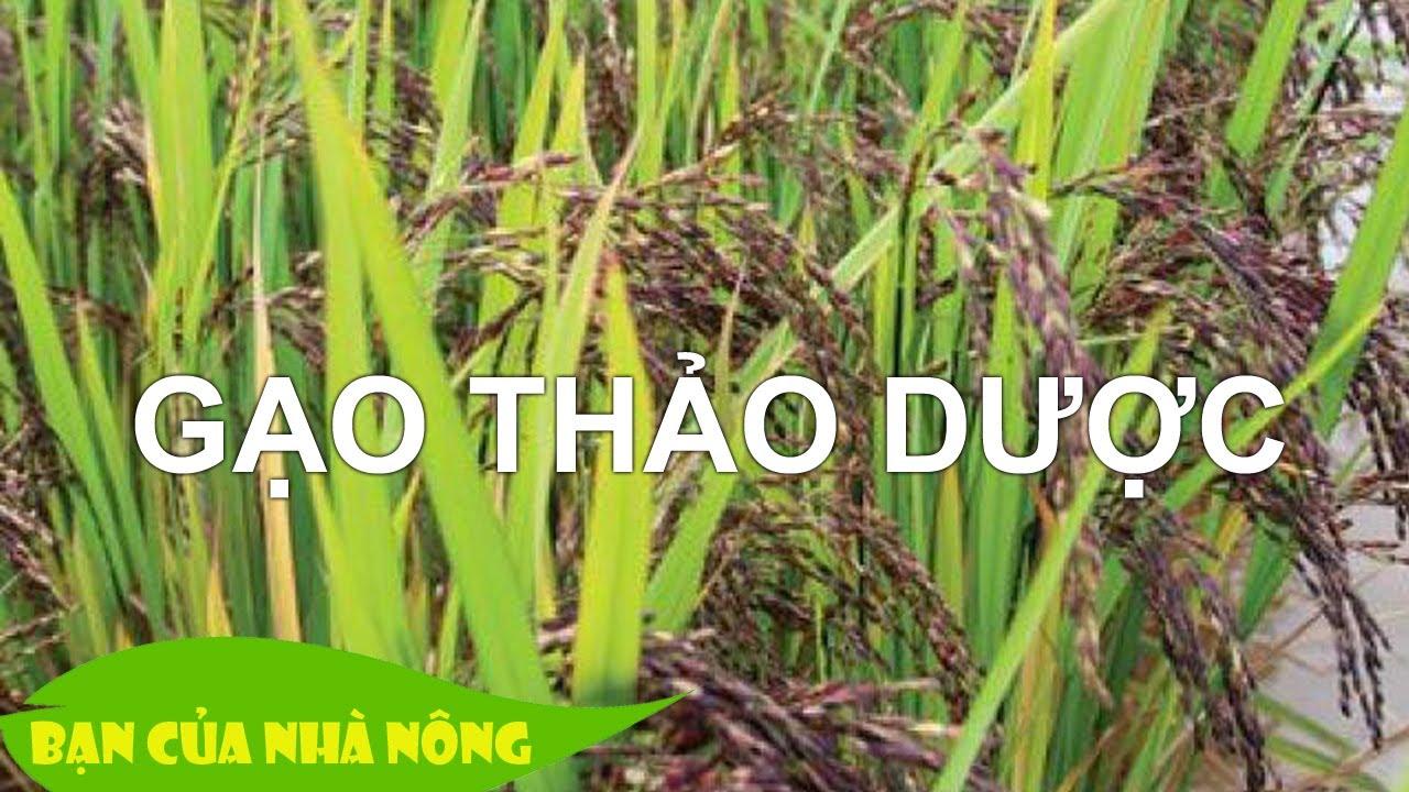 Quy trình sản xuất gạo thảo được giàu Omega
