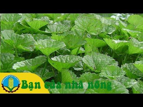 Quy trình trồng rau má theo mô hình VietGap