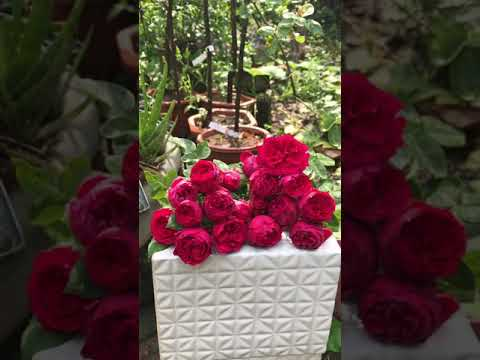 Red eden chuẩn rose gảden