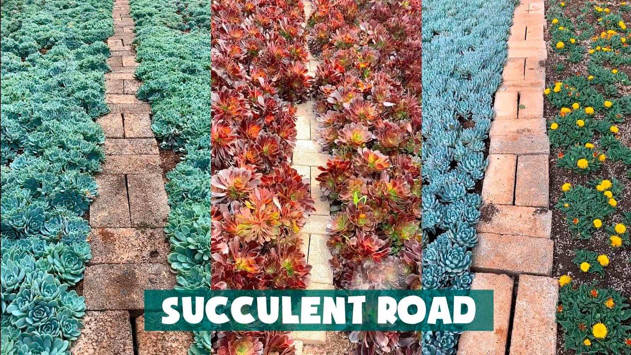 Road Full of Succulents| Những con đường ngập tràn sen đá| 多肉植物| 다육이들 | Suculentas