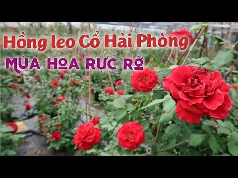 Rực rỡ vườn hồng leo Cổ Hải Phòng - Hồng leo dễ trồng, hoa rực rỡ nổi bật nhất