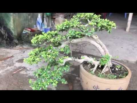 Sam chậu tàu giá 3 củ rưỡi,a chủ vườn đầy kinh nghiệm bonsai