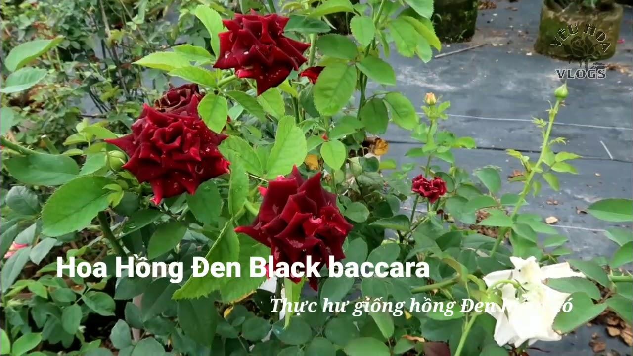 Sự thật về giống Hoa hồng Đen đang được săn lùng - Trên tay bông hồng Black Baccara