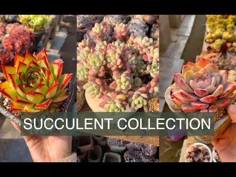 Succulent collection| Bộ sưu tập sen đá ngắm hoài không chán| 多肉植物 |www.vuonsenda.vn