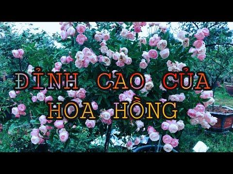 TREE ROSE. ĐỈNH CAO CỦA THÚ CHƠI HOA HỒNG.CHUẨN GARDEN TV