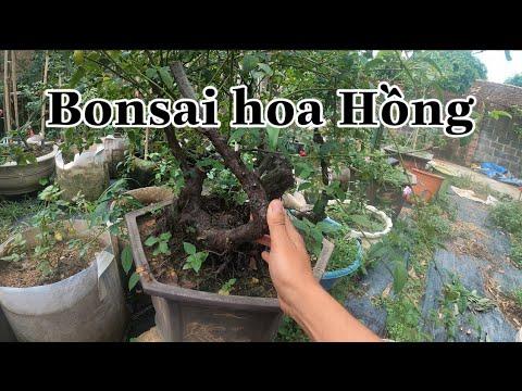TREE ROSE VÀ BONSAI HOA HỒNG.CHUẨN GARDEN TV