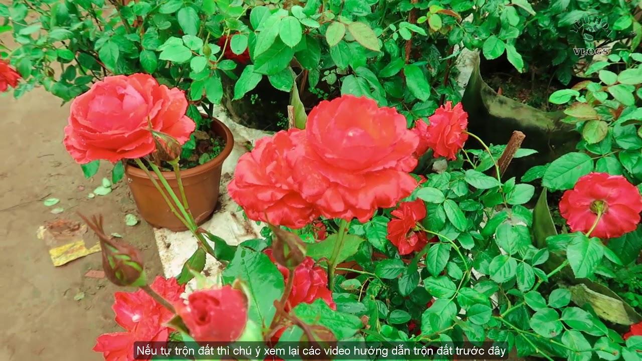 Tết này trồng hoa hồng gì cho ĐỎ? Hồng Tố nữ đỏ rực một góc trời