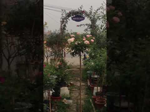 Tree rose sumer snouw
