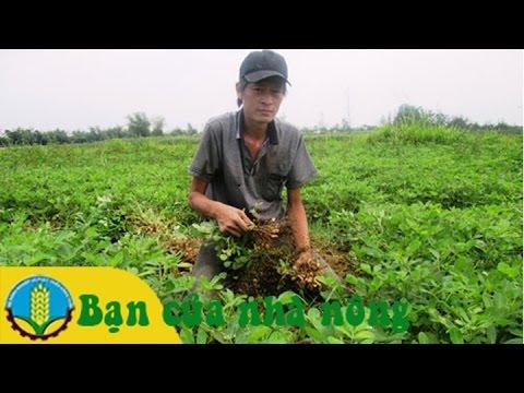 Trồng, chăm sóc và phát triển giống Lạc (Đậu phộng)  ở Nam Trung bộ