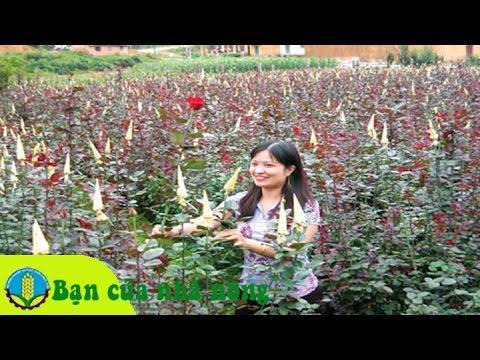 Trồng và chăm sóc hoa hồng theo mô hình trang trại
