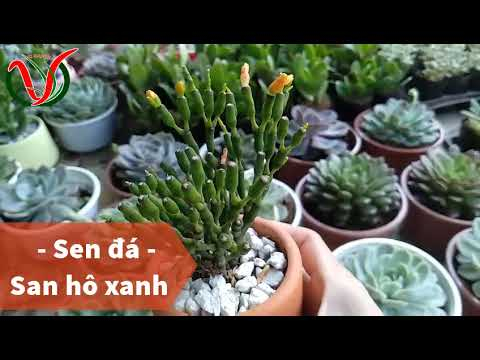 Vuki Garden| Các loại sen đá | San hô xanh (Types of succulents - Spice Cactus)