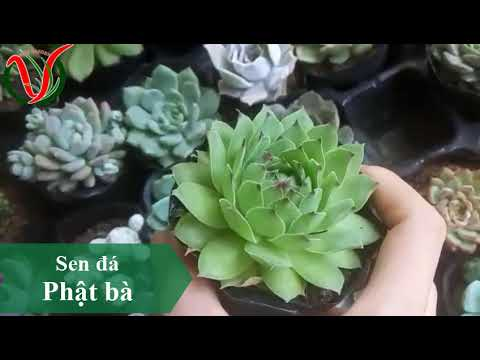 Vuki Garden| Các loại sen đá | Sen đá phật bà (Types of succulents - Sempervivum. )