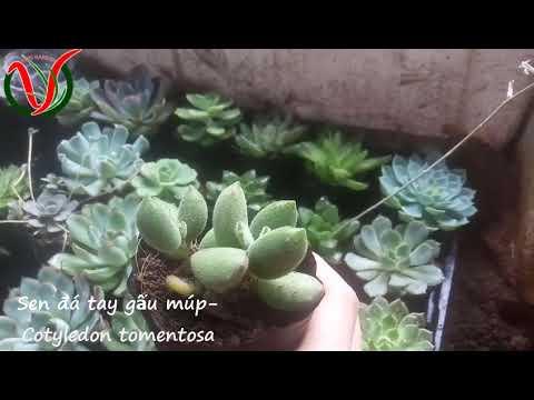 Vuki Garden| Các loại sen đá | Sen đá tay gấu múp (Types of succulents - Cotyledon tomentosa)