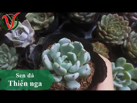 Vuki Garden| Các loại sen đá | Sen đá thiên nga (Types of succulents - Echeveria.)