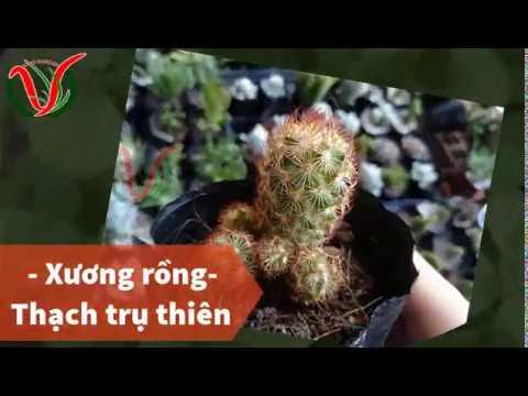 Vuki Garden| Các loại sen đá | Xương rồng thạch trụ thiên (Types of succulents - Ladyfinger Cactus)